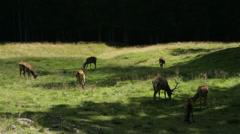 Deer herd in forest glade Stock Footage