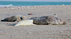 Seals with baby at the beach Stock Footage