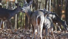 Whitetail Deer Doe Fawn Stock Footage