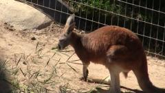Kangaroo at Frank Buck Zoo in Texas Stock Footage