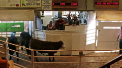 Stock Video Footage of Cattle auction steer beef auctioneer HD 0288