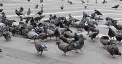 Ultra HD 4K UHD Flock Domestic Pigeon Birds Feeding Street Pavement Paved Ground Stock Footage