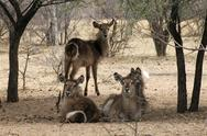 Stock Photo of herd of alert waterbuck listening