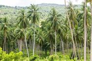 Stock Photo of coconut palm trees
