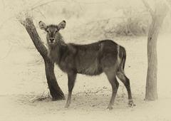 Sepia toned picture of alert waterbuck listening Stock Photos