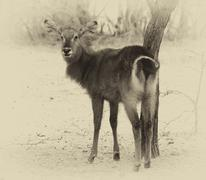 Sepia toned picture of an alert waterbuck looking backwards listening Stock Photos