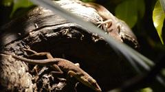 Lizard - stock footage