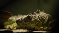 Iguana close up Stock Footage