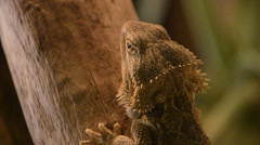 Central Bearded Dragon Stock Footage
