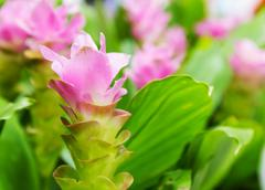 Siam tulip flower or curcuma alismatifolia Stock Photos