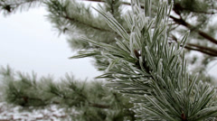 Frost on the branch of a pine Stock Footage