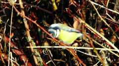 blue tit in the winter time feeding on thistle - stock footage