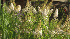 Astilbe. Stock Footage