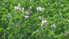 Blossoming potatoes. Stock Footage