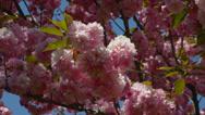 PINK FLOWERING SRING TREES Stock Footage