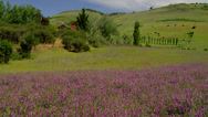 Stock Video Footage of GREEN FIELD OF PURPLE FLOWERS (PAN)