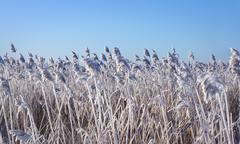 reeds with rime frost - stock photo