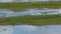 White Crane In Wetlands Stock Footage