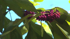 American Beautyberry Stock Footage