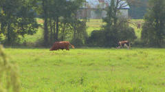Cows In Pasture Stock Footage