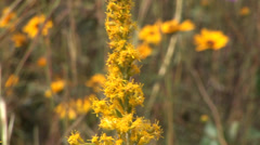 Stock Video Footage of Ants and Goldenrod
