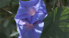 Purple Morning Glory Stock Footage