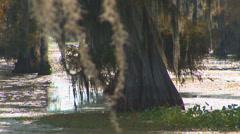 Mossy Cypress Trees - stock footage
