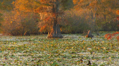 White Egret In Louisiana Bayou Stock Footage