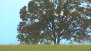 Stock Video Footage of Big Tree In Field