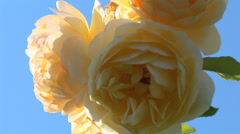 Rose in Bloom Stock Footage