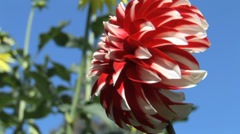 Dahlias Against Blue Sky Stock Footage