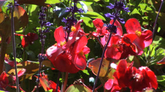 Wax Begonias - stock footage