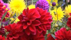 Dahlias in a Garden Stock Footage
