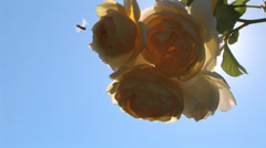 Bee and Roses in Bloom Stock Footage