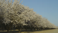 WHITE FLOWERING SRING TREES (PAN) Stock Footage