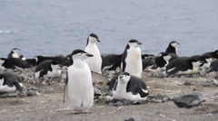 Chinstrap penguins. Antarctica Stock Footage