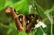 Stock Photo of underside of an atlas moth