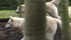 Gray Wolves Stock Footage