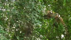 Coatis in a Tree Stock Footage