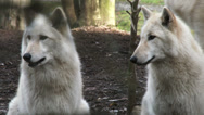 Stock Video Footage of Gray Wolves, Wolf, Pack, Canine, Hunter, Forest, Predator, Carnivore, 4K, UHD
