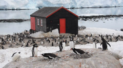 Chinstrap and gentoo penguins near old wooden house. Antarctica Stock Footage