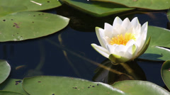 water-lily flower and leaves close-up on pond - stock footage