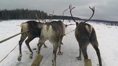 Reindeer Stock Footage