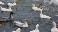 Ducks in the water Stock Footage