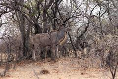 Kudu bull camouflage Stock Photos