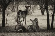 Stock Photo of sepia toned picture of herd of alert waterbuck listening
