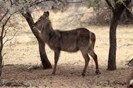 Stock Photo of alert waterbuck listening