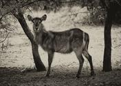 Stock Photo of sepia toned picture of alert waterbuck listening