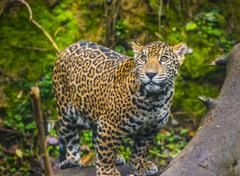 Beautiful jaguar animal in it's natural habitat Stock Photos