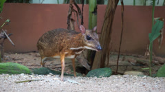 Cute mouse deer Stock Footage